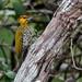 Yellow-throated Woodpecker/Pica-pau-bufador/Carpintero de garganta amarilla (Piculus flavigula) male