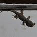 Wood slave gecko