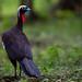 Black-fronted Piping Guan - Pipile jacutinga