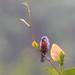 Chestnut-bellied Seedeater/Caboclinho-de-peito-castanho/Espiguero venticastaño (Sporophila castaneiventris) male