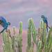 Lear's macaw (Anodorhynchus leari)