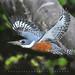 - MARTIN PESCADOR GRANDE.! - Ringed kingfisher (Megaceryle torquata) toma en Lago de Regatas.!  Buenos Aires -Argentina