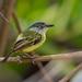 Spotted Tody-Flycatcher/Ferreirinho-estriado/Espatulilla moteada (Todirostrum maculatum)