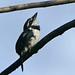 Bobo Coronado, Pied Puffbird (Lesser) (Notharchus tectus) (Notharchus subtectus) (Notharchus tectus subtectus)