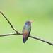 beija-flor-roxo (Hylocharis cyanus) - White-chinned Sapphire