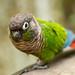 Painted Parakeet - Birds of Eden