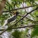 Bearded Bellbird/Araponga-do-nordeste (Procnias averano)