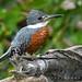 - MARTIN PESCADOR GRANDE.! - Ringed kingfisher (Megaceryle torquata) - FOTO Nº 2001 en Flickr - toma en Lago de Regatas.!  Buenos Aires -Argentina