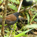 Hormiguero Ojirrojo, White-backed Fire-eye (Pyriglena leuconota)