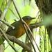 Hormiguero Negruzco, Dusky Antbird (Cercomacroides tyrannina) (Cercomacra tyrannina)