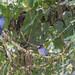 Monja frentiblanca, Monasa morphoeus, White-fronted Nunbird