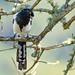 Magpie Tanager (Cissopis leveriana), Itatiaia National Park, Brazil