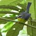 Arañero Cejiblanco, Yellow-crowned Warbler (Basileuterus culicivorus)