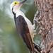 White Woodpecker - Melanerpes candidus