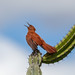 Caatinga Cacholote/Casaca-de-couro (Pseudoseisura cristata)