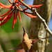 Weibl. Rubinkolibri an Korallenbaum