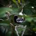 Formicivora grisea   White-fringed Antwren   Hormiguerito Pechinegro