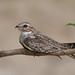 CA3I2870-Sand-colored Nighthawk