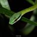 giant parrot snake closeup