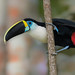 CA3I9456-White-throated Toucan