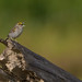CA3I2309-Yellow-browed Sparrow