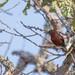 Soldadito crestirrojo, Coryphospingus cucullatus, Red-crested finch
