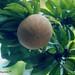 Mammey apple, Paramaribo, Suriname