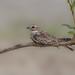 CA3I2953-Sand-colored Nighthawk