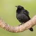 Chopí, Gnorimopsar chopi, Chopi blackbird