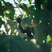 Guaxe vermelho (Cacicus haemorrhous)