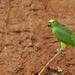 Yellow-crowned Parrot - Orellana Province, Ecuador