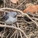 Hormiguero colibandeado, Hypocnemoides maculicauda, Band-tailed Antbird
