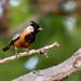 Coal-crested Finch/MIneirinho/Monterita crestada (Charitospiza eucosma)odó-2