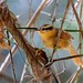 Ochre-breasted Foliage-gleaner/Limpa-folha-ocráceo/Ticotico ocráceo chico (Anabacerthia lichtensteini)