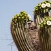 Crested Caracara (Caracara plancus) nest