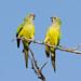 Peach-fronted Parakeet (Eupsittula aurea), couple
