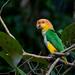 White-bellied Parrot/Marianinha-de-cabeça-amarela/Lorito rubio (Pionites leucogaster)