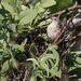 Cucarachero turdino, Campylorhynchus turdinus, Thrush-like Wren
