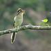 Este Tres pies o Sinfín es una de esas aves que es más fácil escuchar que ver.