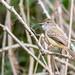 Copetón feroz, Myiarchus ferox, Short-crested Flycatcher