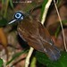Hairy-crested antbird - male