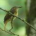 Royal Flycatcher  - Onychorhynchus coronatus - Reserva San Francisco, Panamá, Panama - June 15, 2021