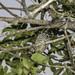 Female White-barred Piculet (Picumnus cirratus) on the Branch of the Tree - Pica-pau-anão-barrado Fêmea no Galho da Árvore