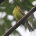 Yellow Tyrannulet - Capsiempis flaveola - Torti, Panamá, Panama - June 18, 2021