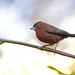 Red Pileated Finch (Coryphospingus cucullatus), male