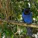 Azure Jay // Gralha-azul