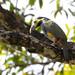 Spot-billed Toucanet (Selenidera maculirostris)