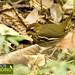Short-tailed Antthrush - Chamaeza campanisona