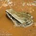 Cuvier's Foam Froglet