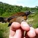 Coraya Wren - Pheugopedius coraya